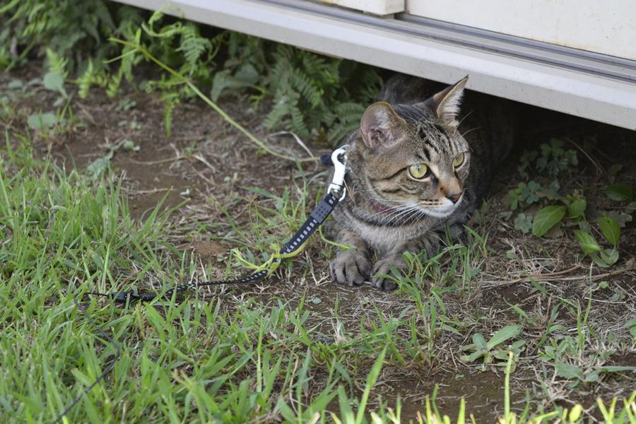 物置の下にはいってくつろぐキジトラ猫の虎ノ介