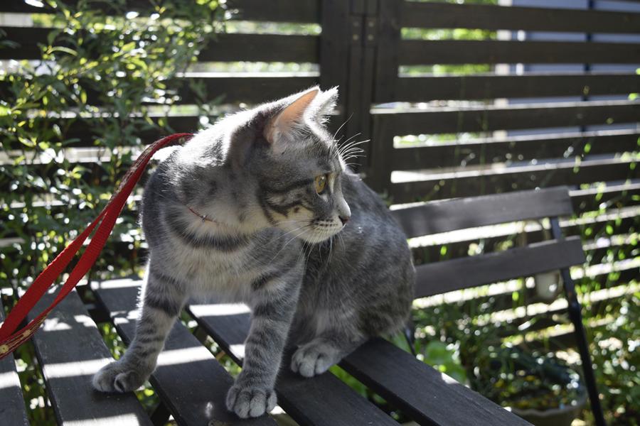 お庭にでたサバトラ猫の春太