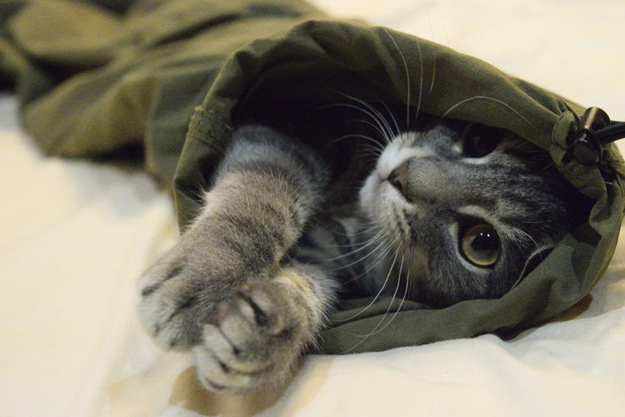 ズボンにもぐったサバトラ猫の春太