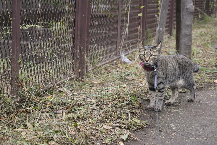 草が刈られた遊歩道横を眺めるキジトラ猫の虎ノ介