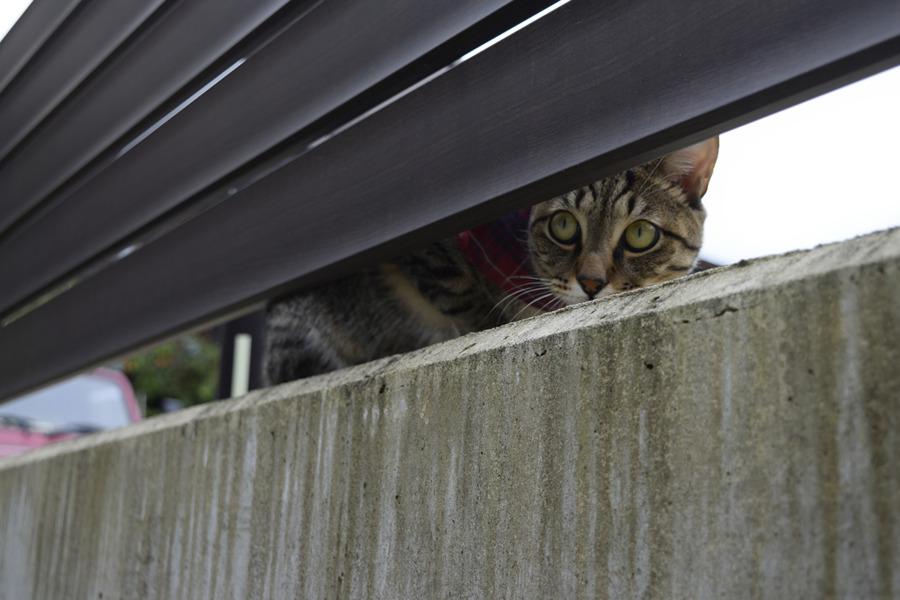 小学生が通り過ぎるのを隠れて覗くキジトラ猫の虎ノ介