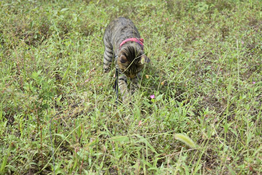 狩りを始めるキジトラ猫の虎ノ介