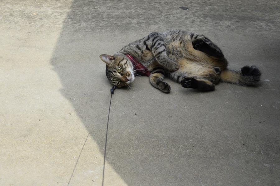 日陰でごろごろするキジトラ猫の虎ノ介