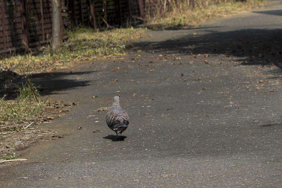 キジトラ猫の虎ノ介に気づかずに歩くハト