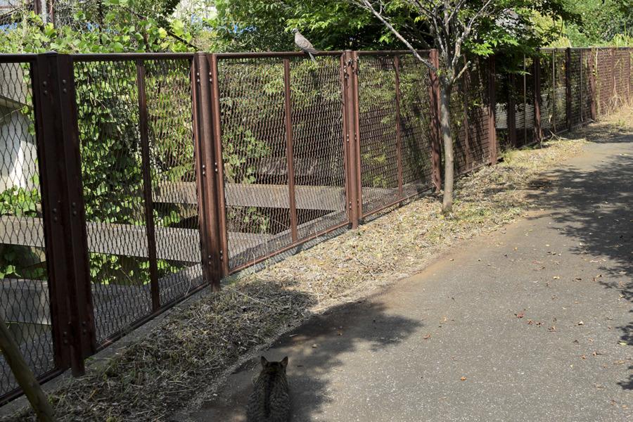 フェンスにとまるハトを狙うキジトラ猫の虎ノ介