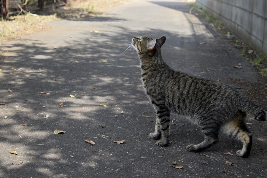 飛んで行ったハトを見つめるキジトラ猫の虎ノ介
