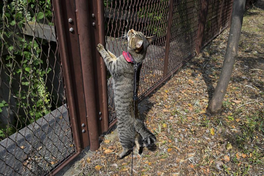 フェンスにつかまってハトの行き先を見つめるキジトラ猫の虎ノ介