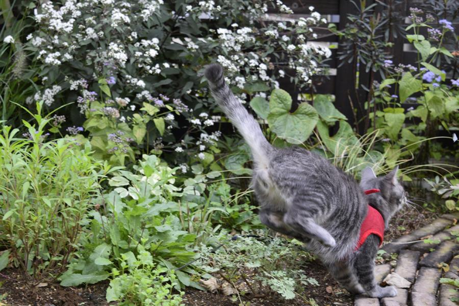 庭で跳ねまわるサバトラ猫の春太