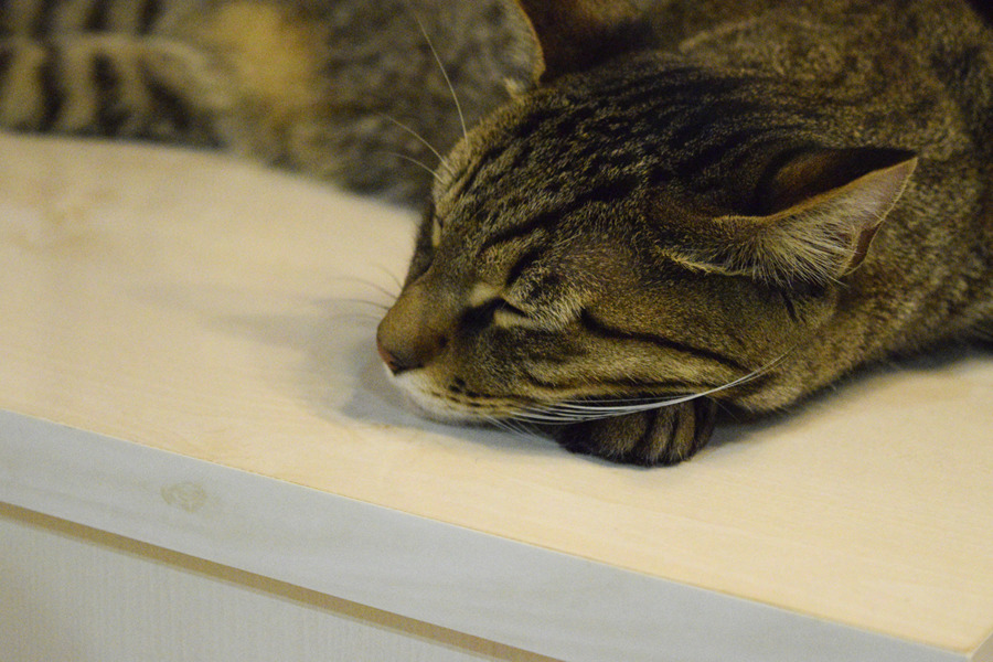 お昼寝するキジトラ猫の虎ノ介
