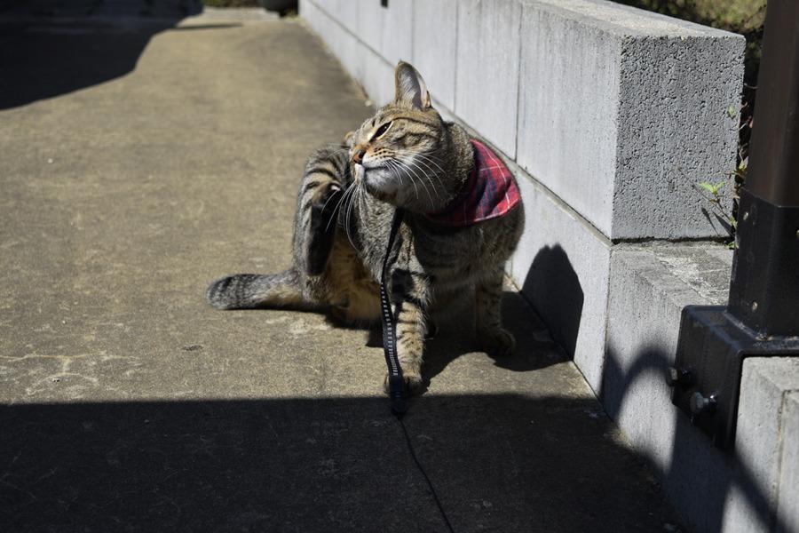 暑そうなキジトラ猫の虎ノ介
