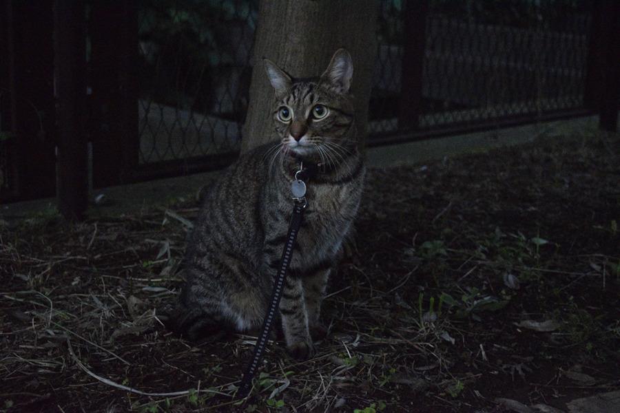 何かを見つめるキジトラ猫の虎ノ介