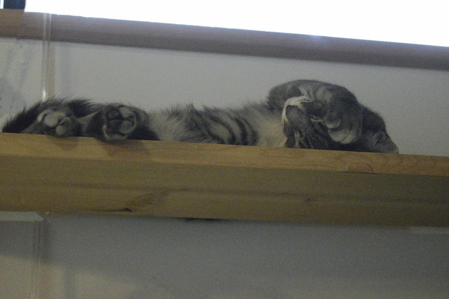 サバトラ猫の春太