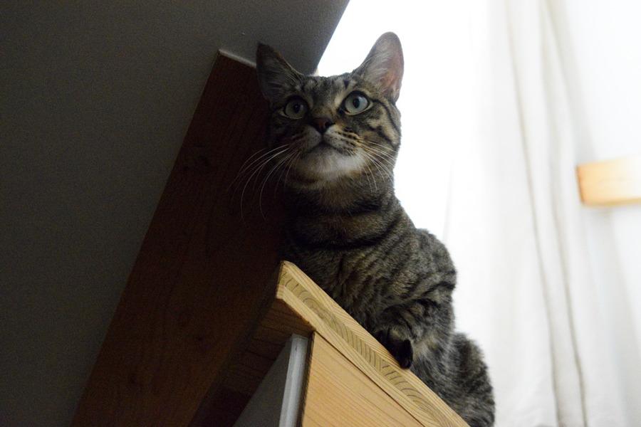 階段に座るキジトラ猫の虎ノ介
