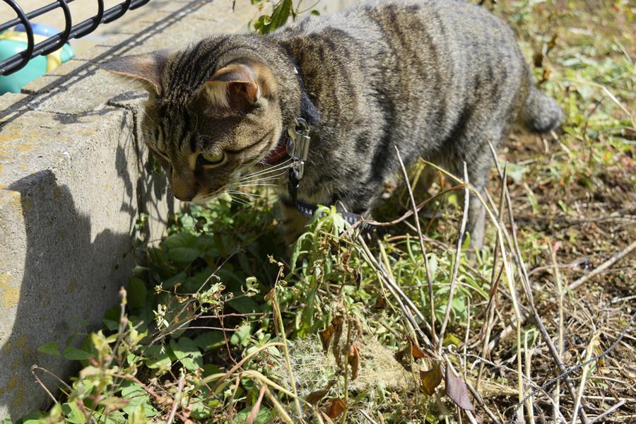 トカゲを発見したキジトラ猫の虎ノ介