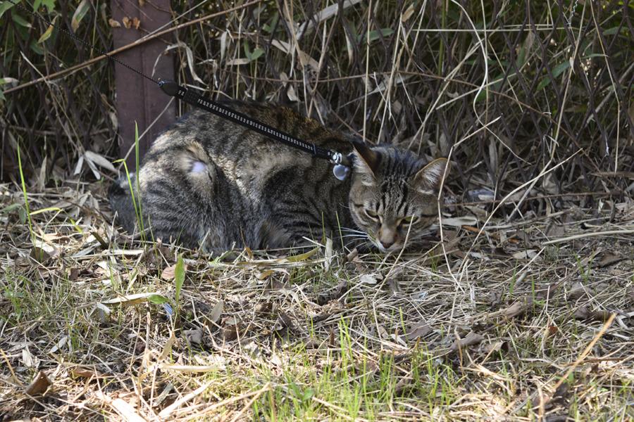 小学生につかまったキジトラ猫の虎ノ介