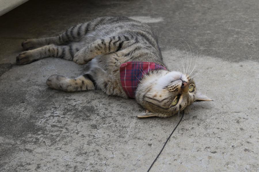 小学生から解放されて伸び伸びのキジトラ猫の虎ノ介