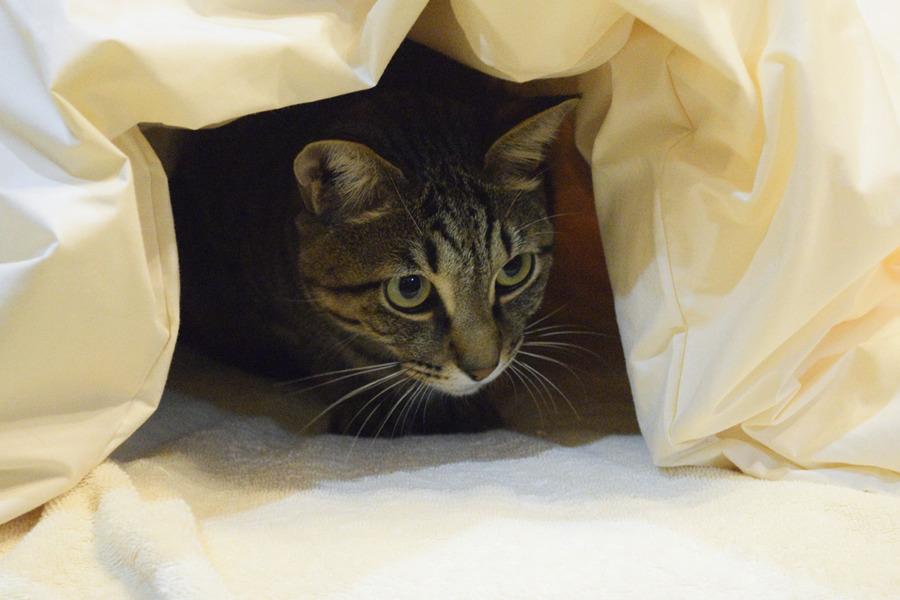 お布団にはいっているキジトラ猫の虎ノ介