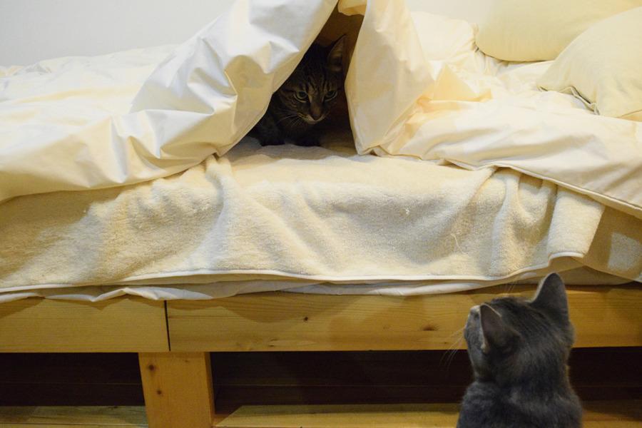 お布団をのぞき込むサバトラ猫の春太