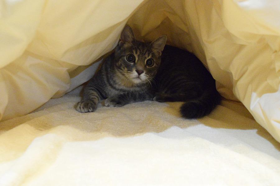お布団にはいったサバトラ猫の春太