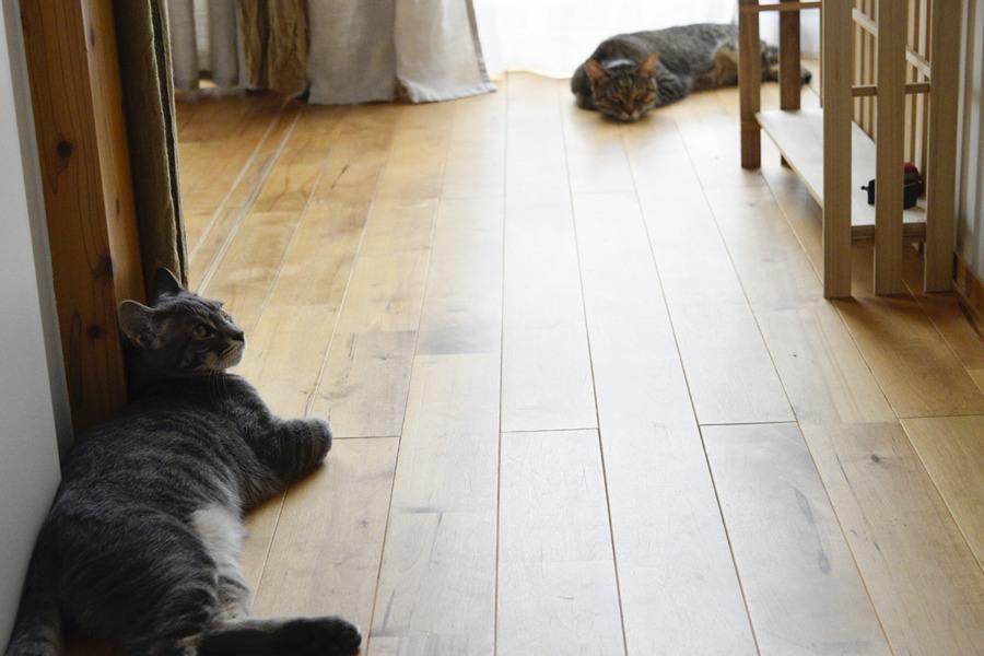キジトラ猫の虎ノ介と距離をとるサバトラ猫の春太