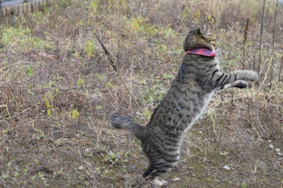 狩りをするキジトラ猫の虎ノ介