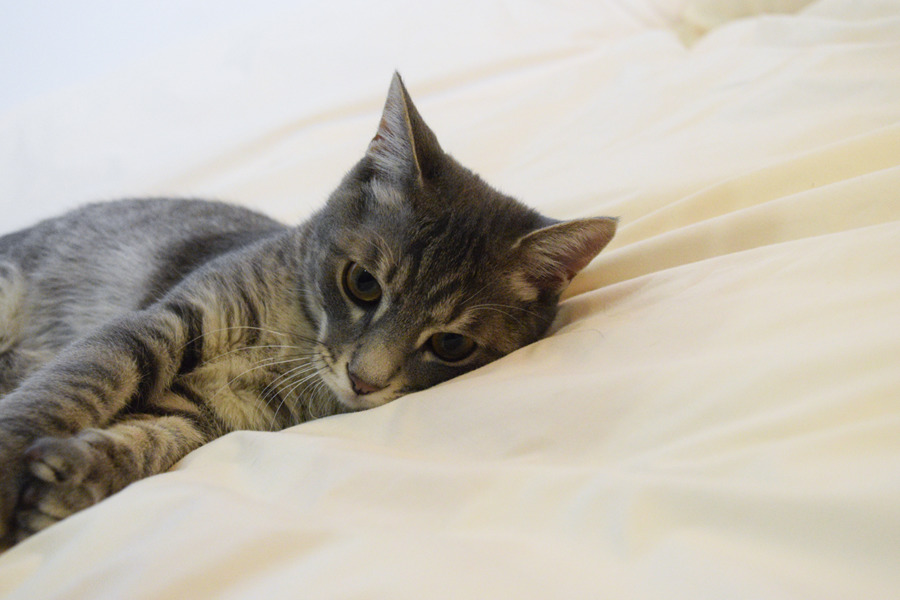 一人で寝るサバトラ猫の春太