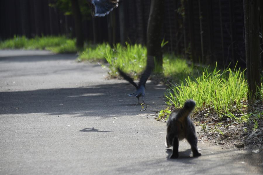 ハトをおいかけるキジトラ猫の虎ノ介