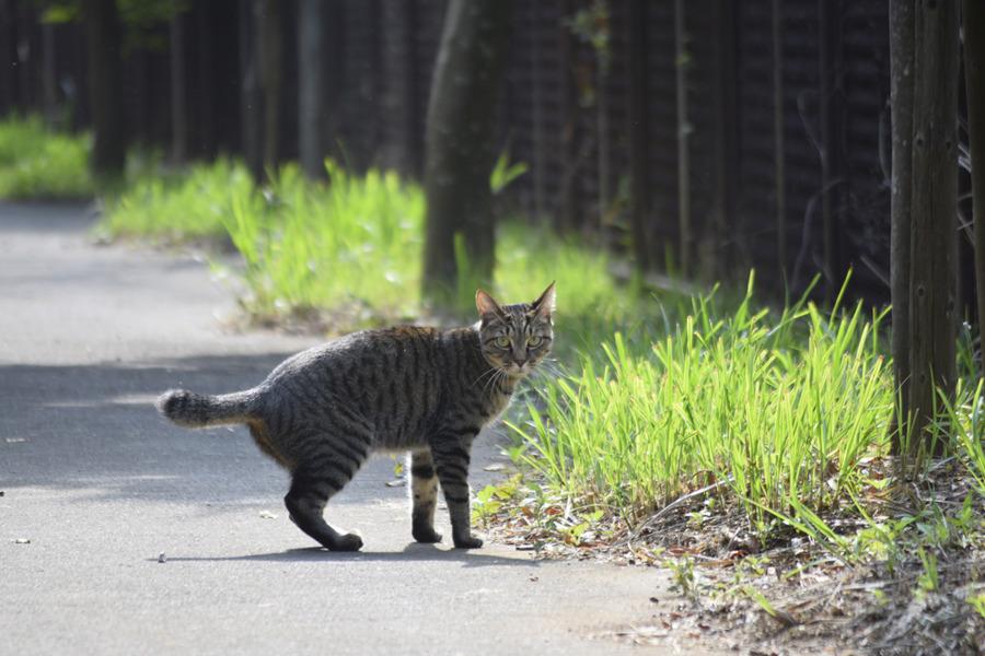 ハトに逃げられたキジトラ猫の虎ノ介