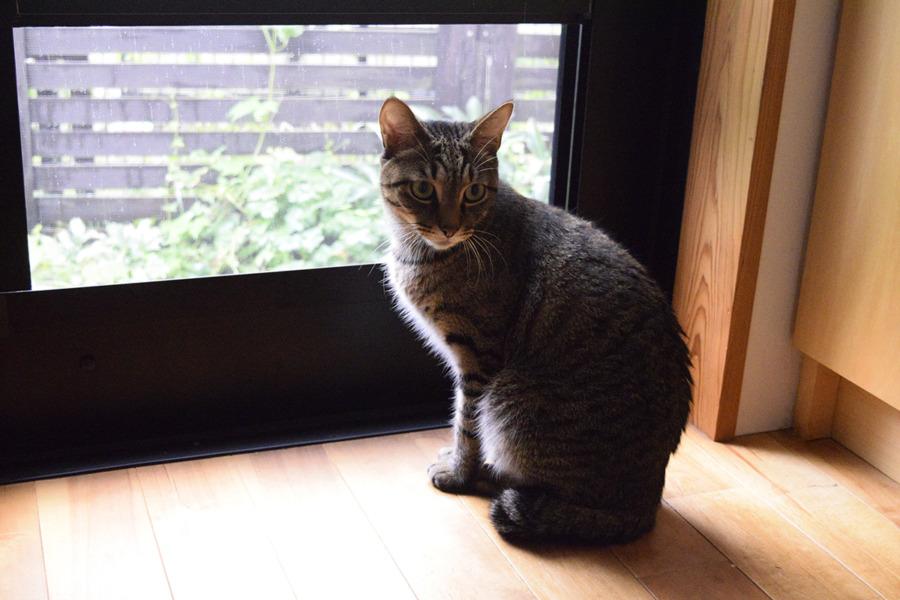 お外を眺めるキジトラ猫の虎ノ介