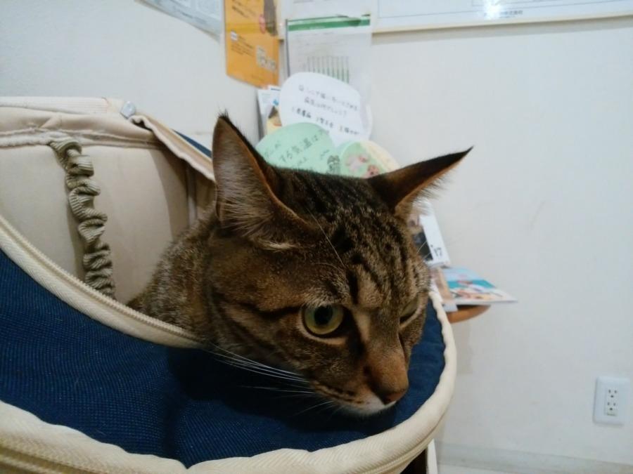 病院につれてこられたキジトラ猫の虎ノ介