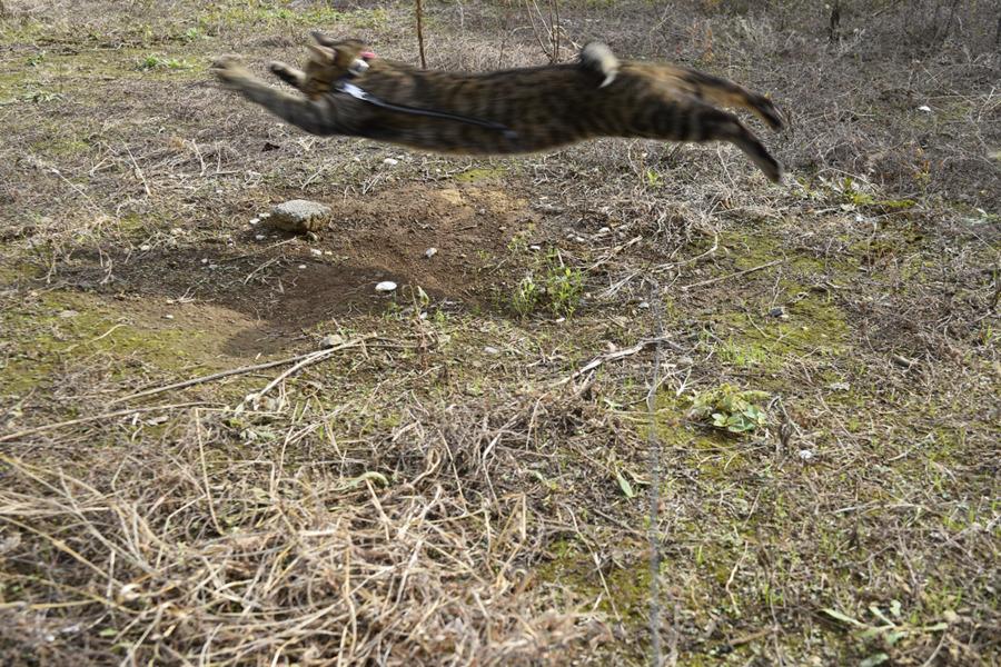 元気に狩りをするキジトラ猫の虎ノ介
