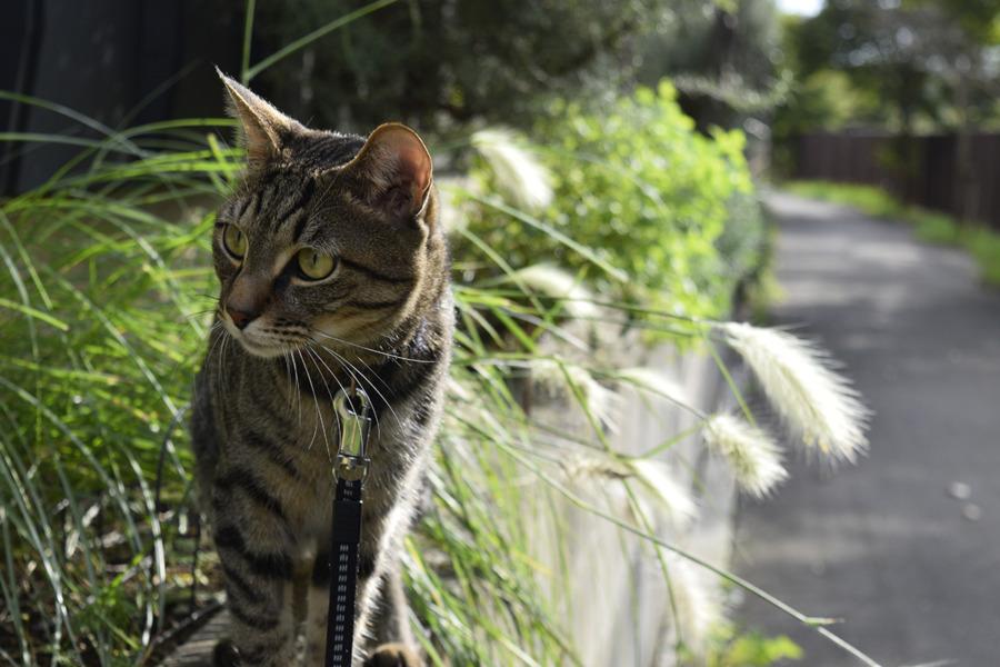 元気にパトロールをするキジトラ猫の虎ノ介
