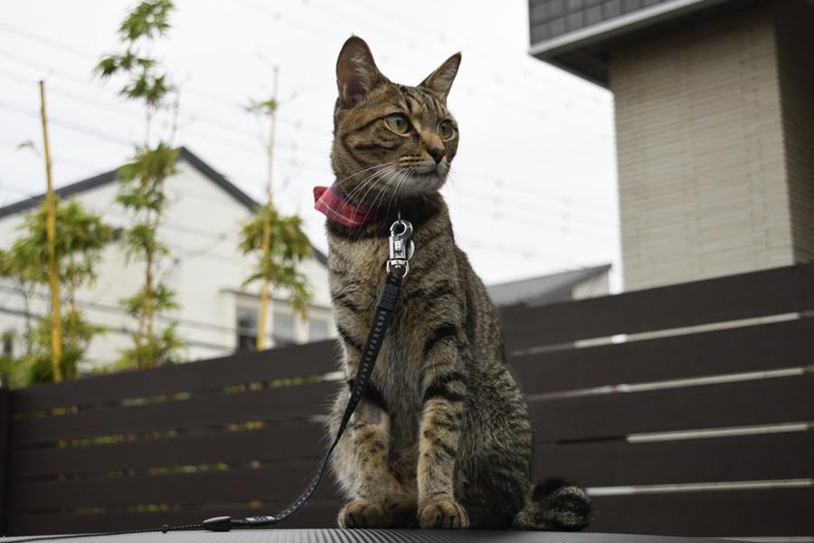お外をパトロールするキジトラ猫の虎ノ介