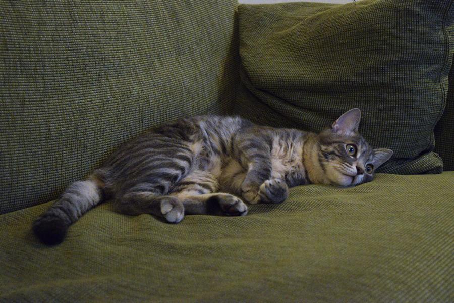 テレビで選挙速報をみるサバトラ猫の春太