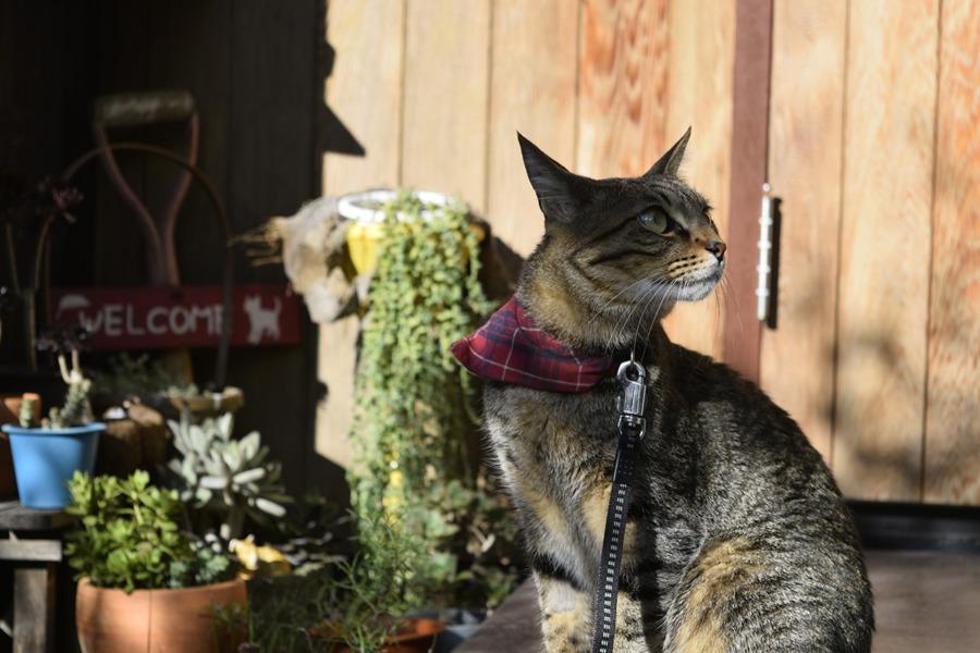 玄関で様子をうかがうキジトラ猫の虎ノ介