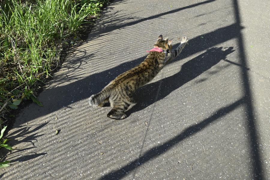 トンボを追いかけるキジトラ猫の虎ノ介