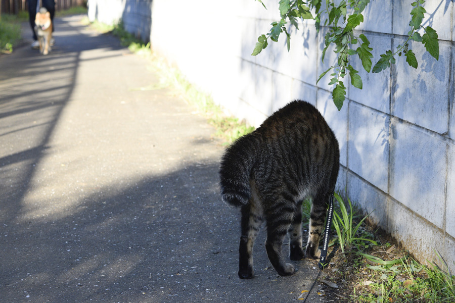 犬を発見して尻尾を膨らませるキジトラ猫の虎ノ介