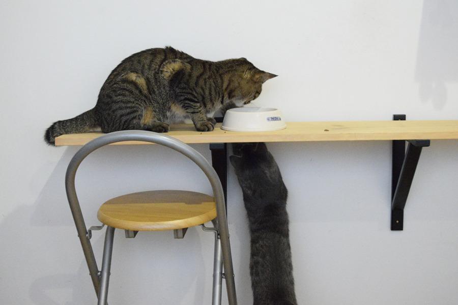 虎ノ介の食事をしたから邪魔するサバトラ猫の春太