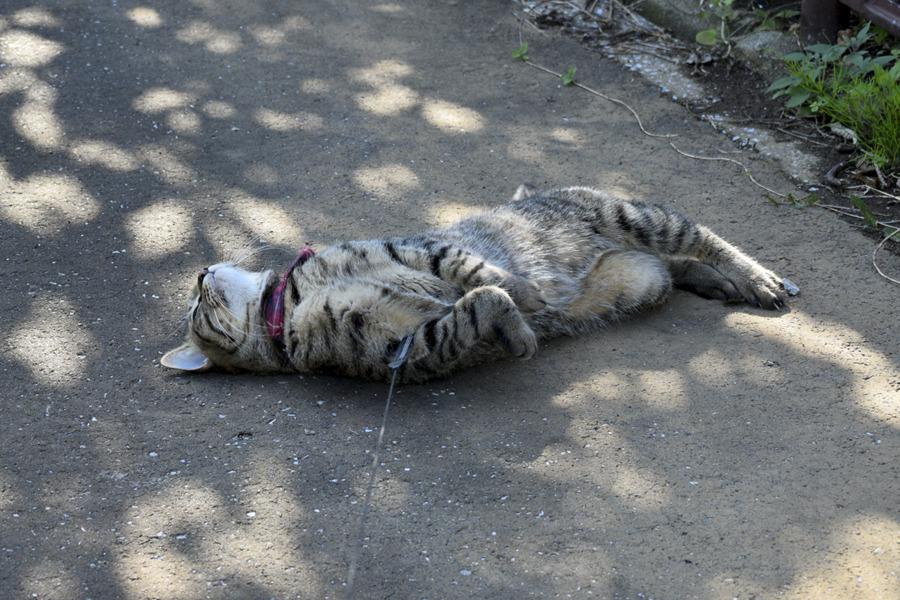 地面で転がるキジトラ猫の虎ノ介