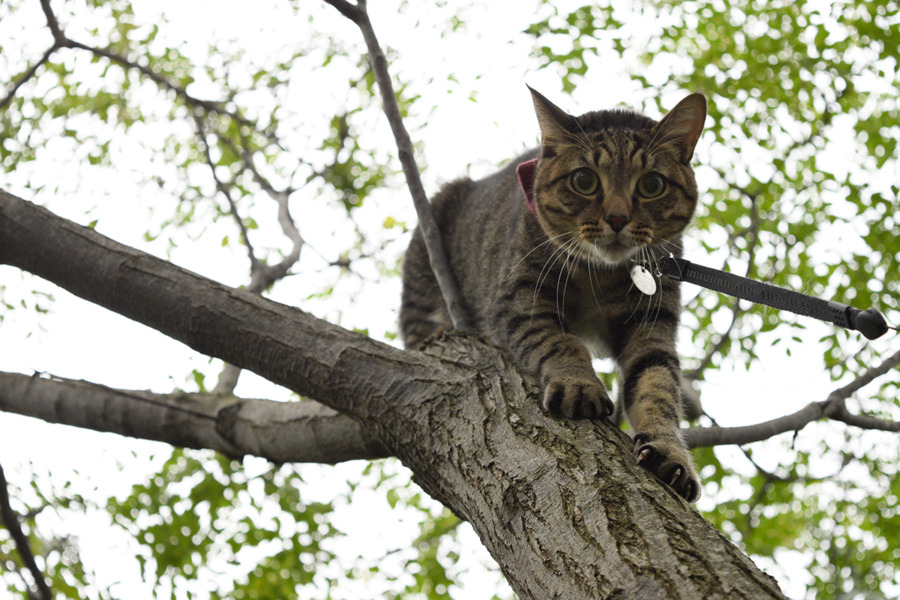 木から降りられなくなったキジトラ猫の虎ノ介