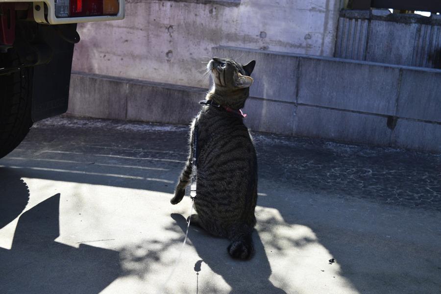 お外にでたけれど風が強すぎて車に乗りたがるキジトラ猫の虎ノ介