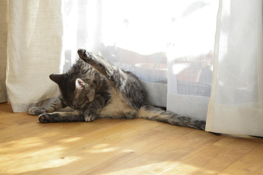 毛づくろいをするサバトラ猫の春太