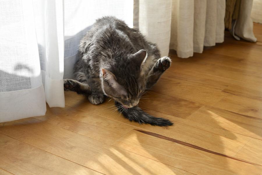 尻尾を毛づくろいするサバトラ猫の春太