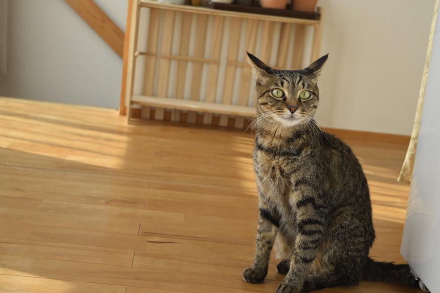 ほぼ毛づくろいがおわったキジトラ猫の虎ノ介