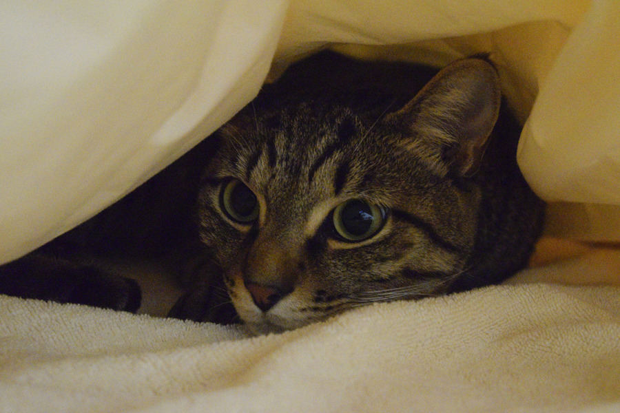 布団にもぐって眠るキジトラ猫の虎ノ介