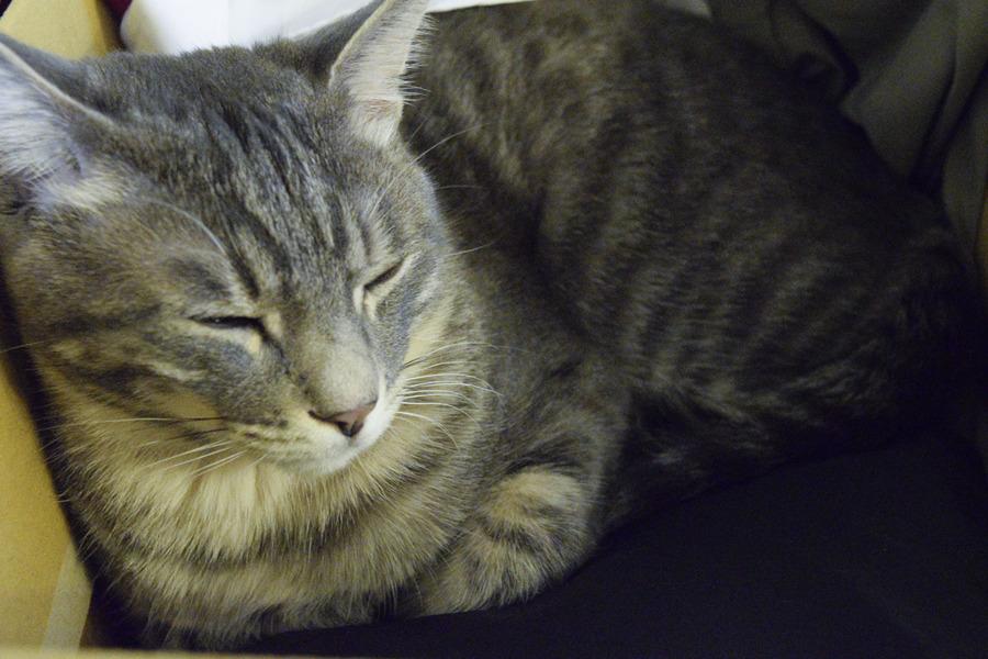 ダンボールにはいって眠るサバトラ猫の春太