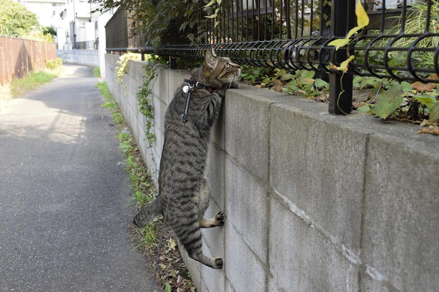 鳥をみつけてよじ登るキジトラ猫の虎ノ介