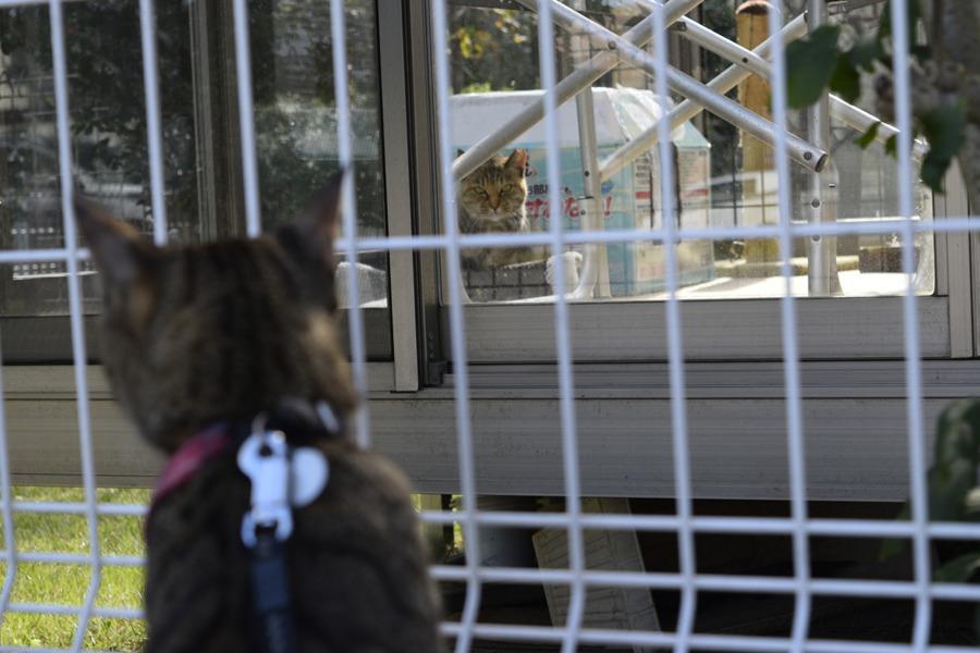 フェンス越しに猫を発見したキジトラ猫の虎ノ介