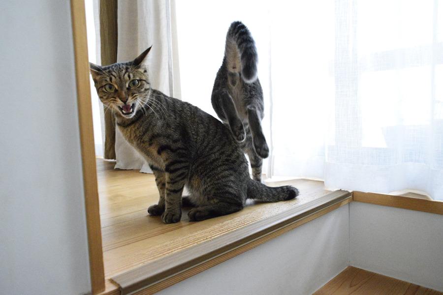 キジトラ猫の虎ノ介の上を飛び越えていくサバトラ猫の春太