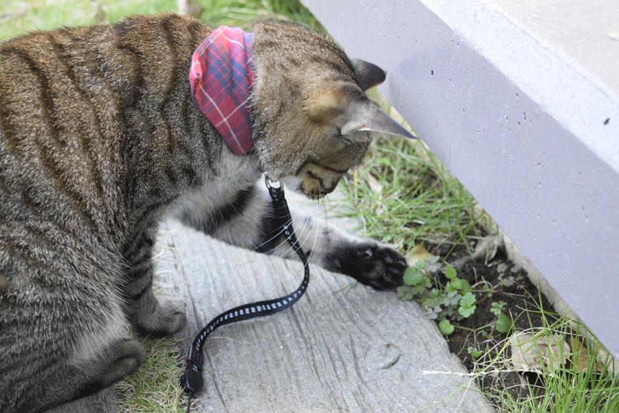 セミで遊ぶキジトラ猫の虎ノ介
